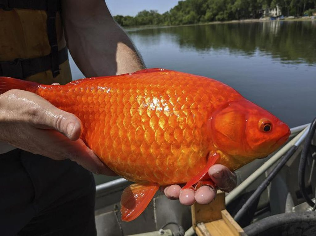 Wow, 20-an Ikan Mas Berukuran Jumbo Ditemukan di Danau Minnesota