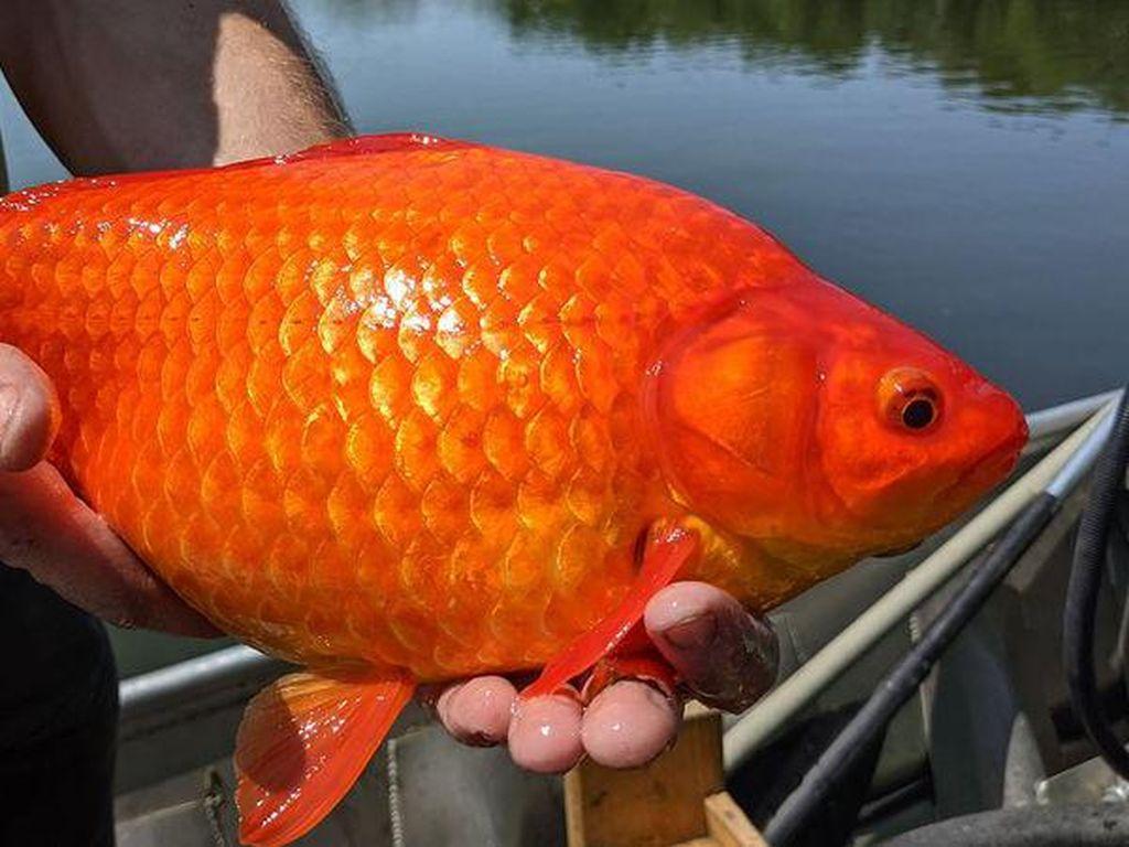 Ikan Mas di Amerika: Dulu Disayang-sayang, Sekarang Dibuang-buang