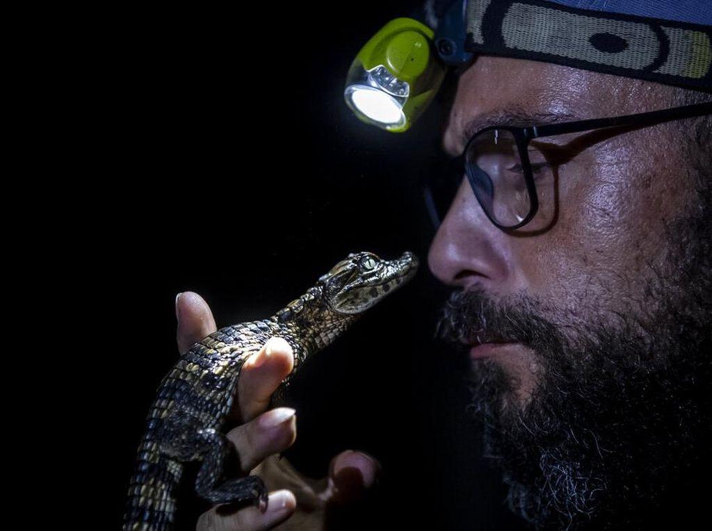 Menjaga Kelestarian Caiman di Laguna Marapendi Brasil