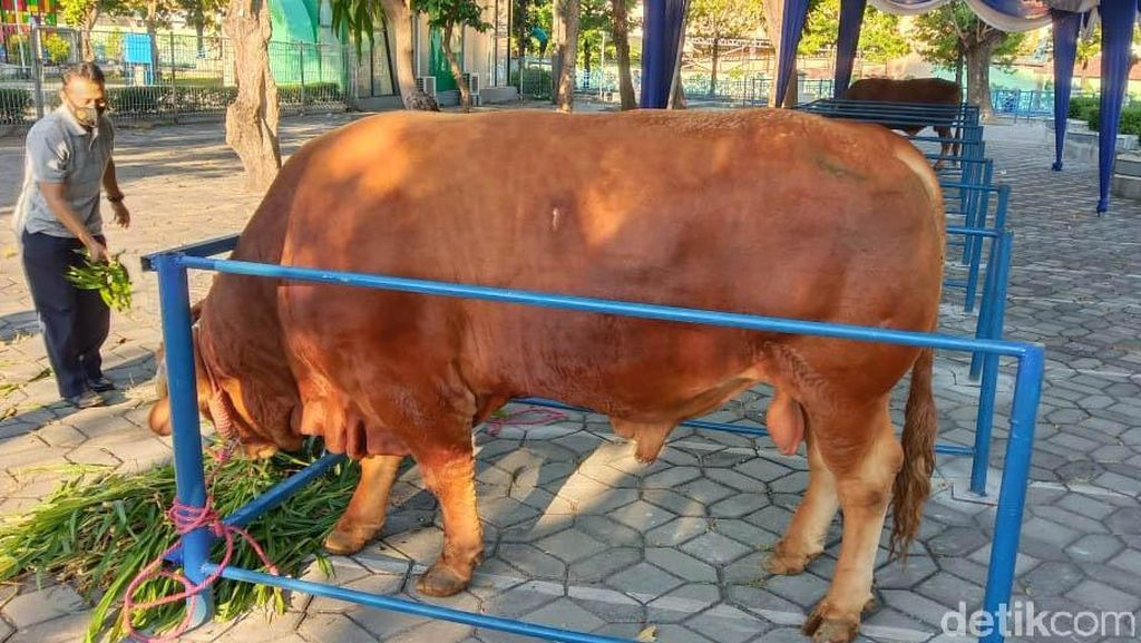 Penampakan Sapi Jokowi Berbobot 1,2 Ton