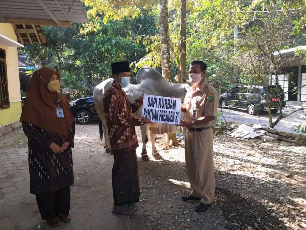 Sapi Kurban Jokowi di Bantul Peranakan Ongole, Bobotnya Nyaris 1 Ton