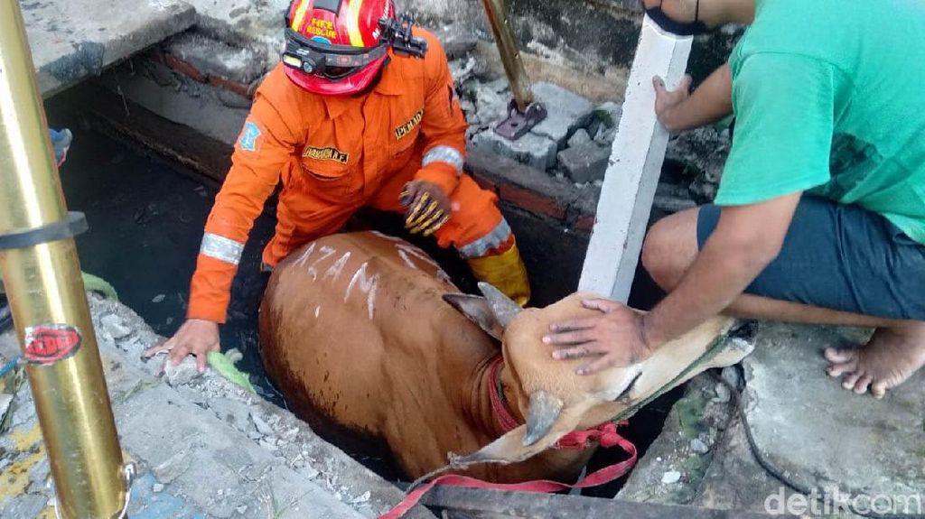 Sapi Kurban Terperosok ke Selokan di Surabaya