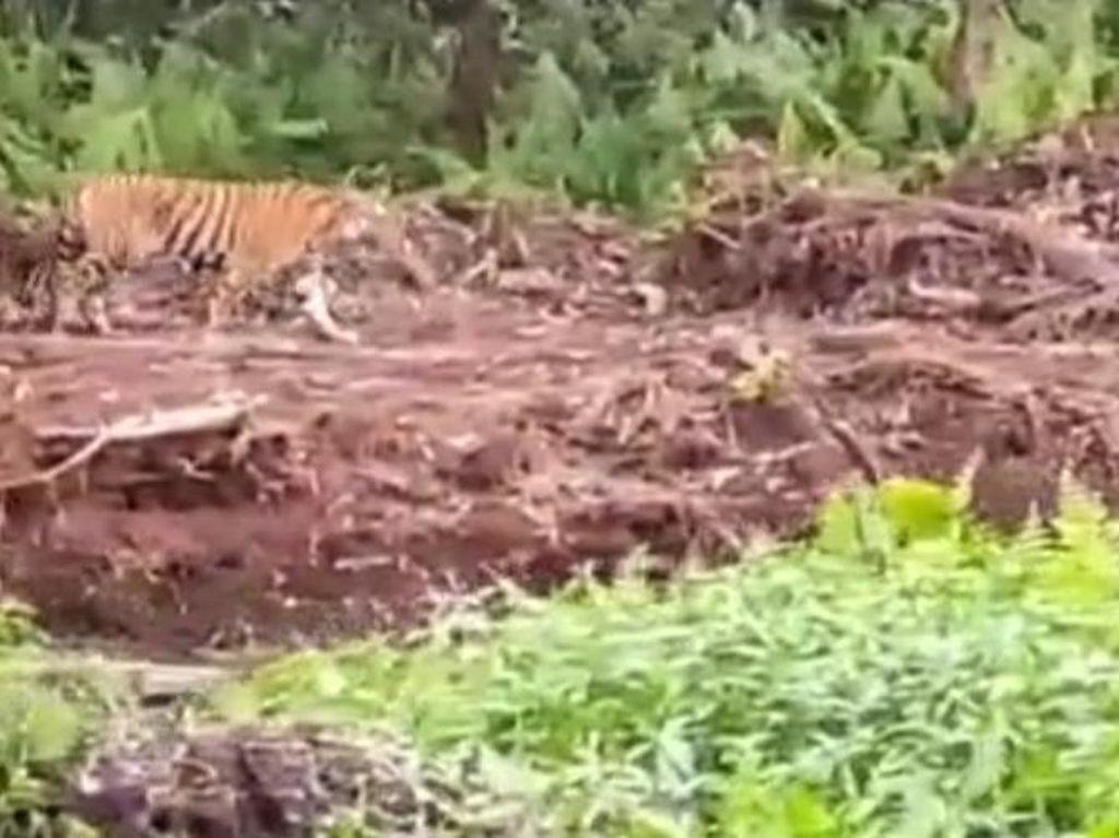 Bikin Deg-degan! Harimau Tiba-tiba Muncul di Dekat Pekerja Kebun Sawit Riau