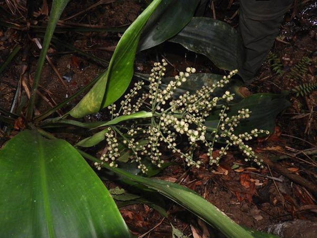 Ini Spesies Tumbuhan Baru yang Cuma Ada di Kepulauan Karimata