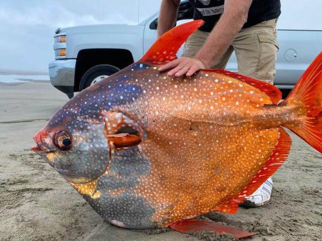 Ikan Langka Berwarna Cantik 45 Kg Terdampar-Rupa Hajar Aswad