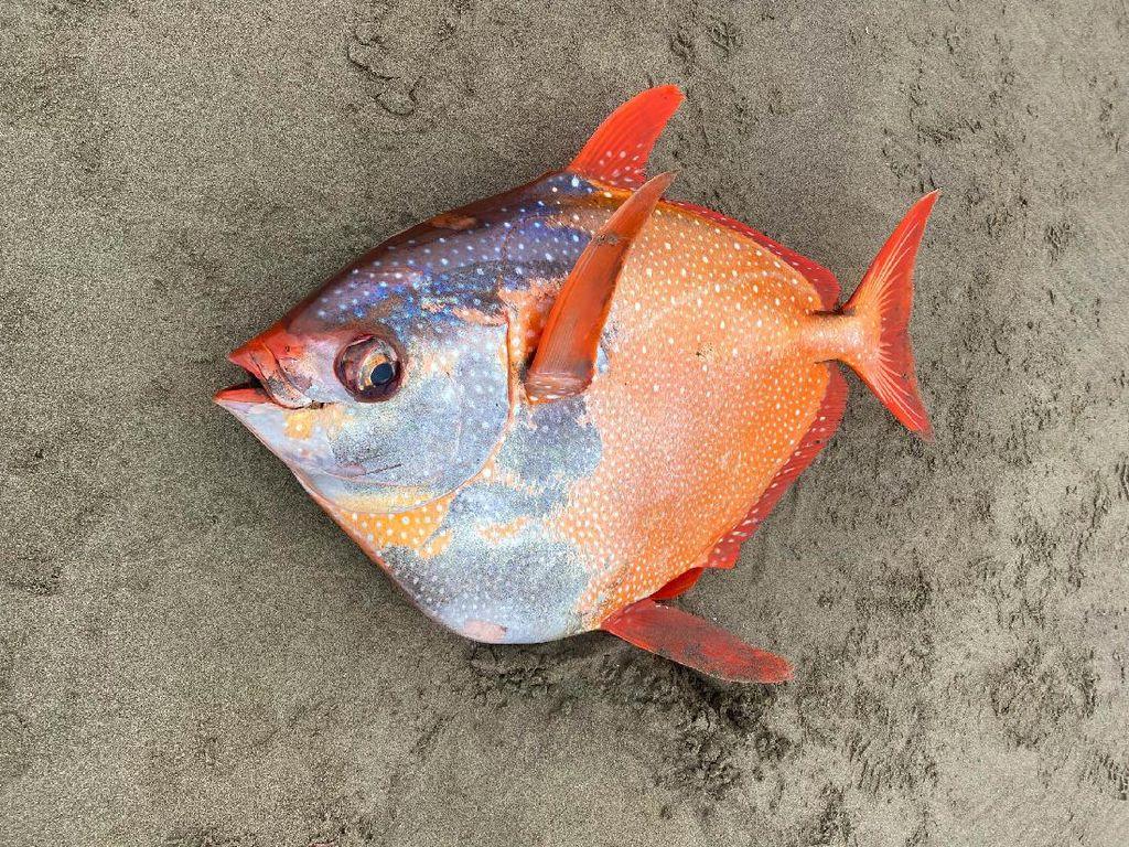 Foto Penampakan Ikan Jumbo yang Terdampar Secara Misterius