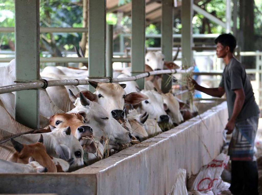 Peningkatan Kasus COVID-19 di Indonesia Terasa Dampaknya Bagi Eksportir Sapi Australia