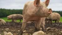 Agama yang Mengharamkan Babi hingga Rahasia Sehat Rasulullah SAW