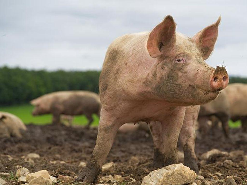 Awal Mula Babi Diharamkan dalam Islam dan Isu Kuah Mie Instan Mengandung Lilin