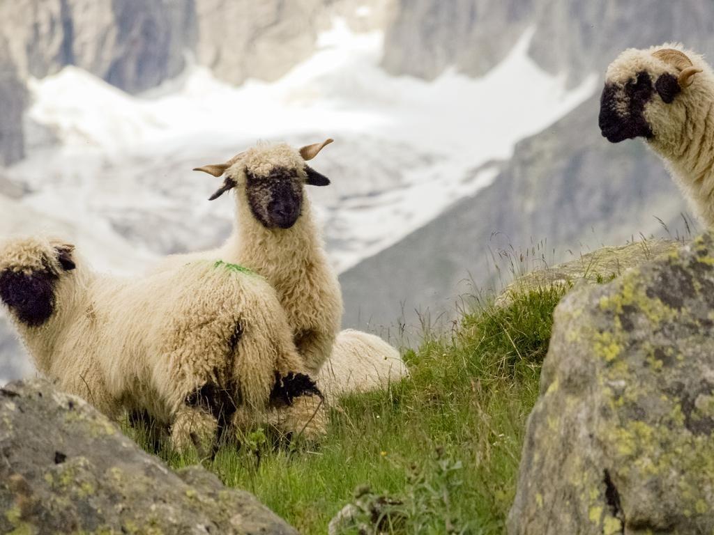 Harga Setara Mobil Avanza, Ini Penampakan Nyata Domba Shaun The Seep