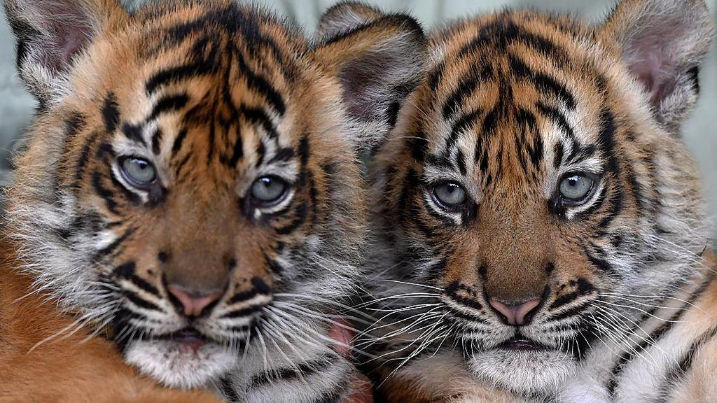 Isyana-Aura, Bayi Harimau Lucu di Taman Safari Prigen