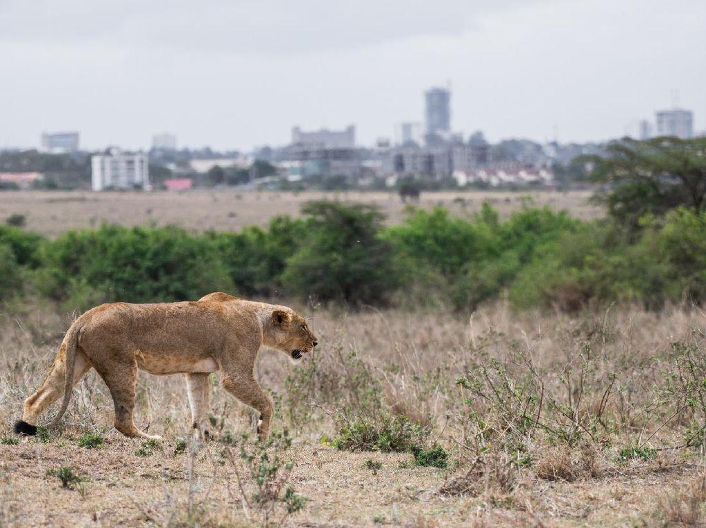 Bikin Panik! Singa Masuk Kota Pas Jam Sibuk