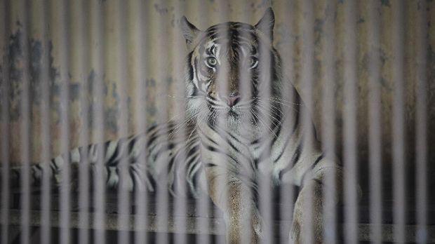 Salah satu Harimau Sumatra yang terpapar COVID-19, Tino berada di dalam kandang di Taman Margasatwa Ragunan (TMR), Jakarta, Minggu (1/8/2021). Dua Harimau Sumatra penghuni Taman Margasatwa Ragunan, Hari dan Tino yang didiagnosis positif COVID-19 pada 15 Juli lalu saat ini kondisinya sudah mulai membaik setelah mendapatkan perawatan intensif dari tim dokter. ANTARA FOTO/Dhemas Reviyanto/rwa.