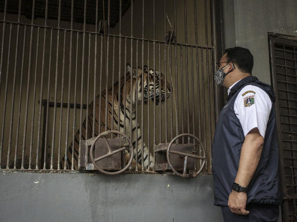 Harimau Ragunan Kena Corona, Ini Pesan Satgas Soal Hewan Peliharaan di Rumah