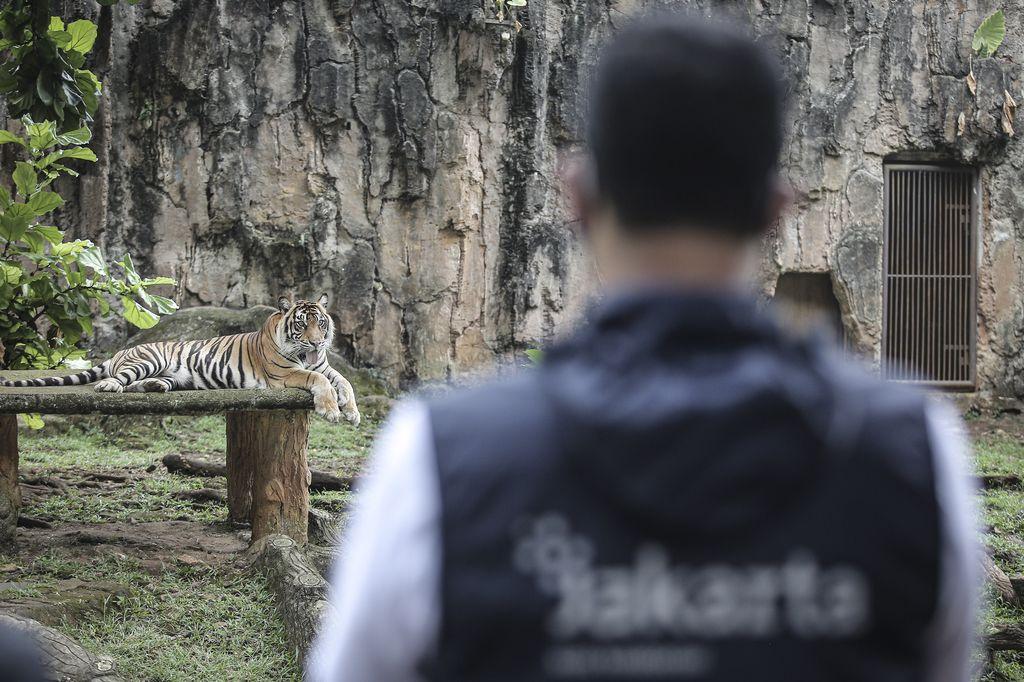 Kabar dua ekor harimau di Ragunan terpapar virus Corona curi atensi publik. Diketahui, ini bukan kali pertama kasus infeksi virus Corona ditemukan pada hewan.