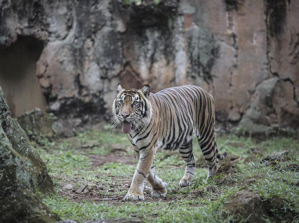 Harimau Ragunan Kena Corona, PSSP IPB: Belum Ada Bukti Hewan Tulari Manusia