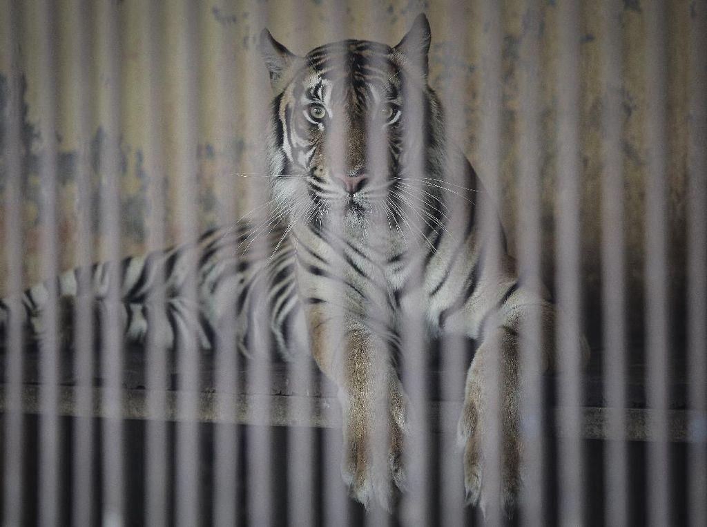 2 Harimau Sumatera di Ragunan Tertular Corona dari Mana?