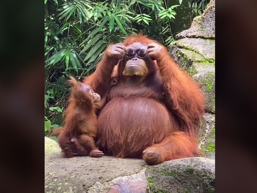Orangutan Bergaya Swag Pakai Kacamata Pengunjung Kebun Binatang