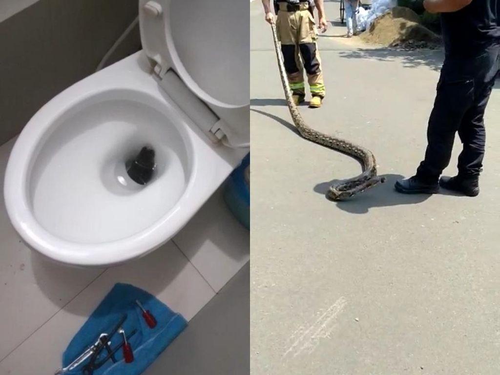 Hiii... Dua Ular Sanca Ngumpet di Kloset Rumah Warga Bandung