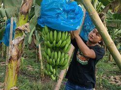 Berkah Saat Pandemi, Pemuda Lamongan Sukses Bertani Pisang
