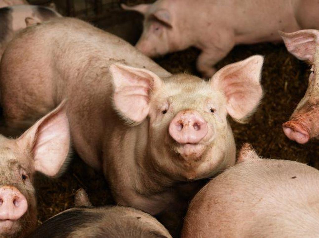 Mengapa Babi Diciptakan tapi Diharamkan oleh Allah SWT?