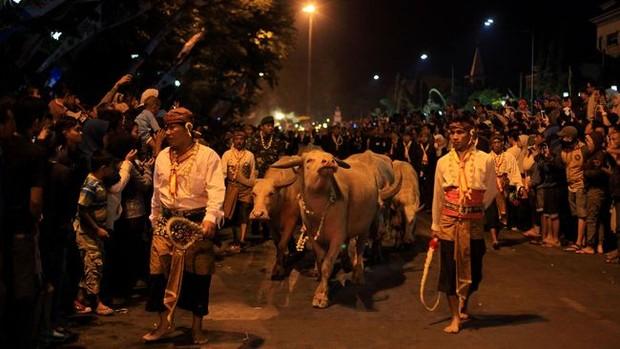 Kirab Kebo Bule khas Surakarta/Foto: cnnindonesia.com