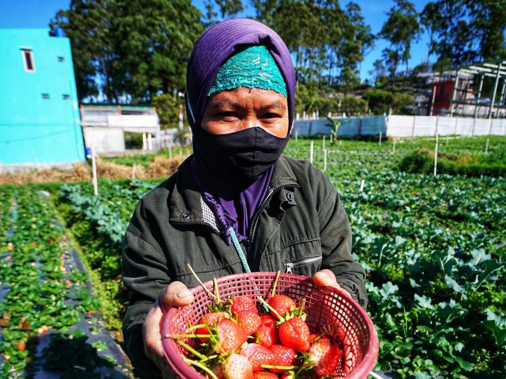 Petani Strawberry Tawangmangu Senang, Panen Besar Dijual Mahal
