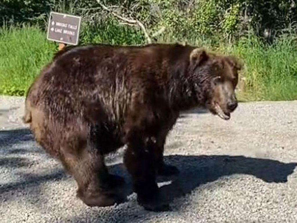 Beruang Ini Ngecek Poster Dirinya, Turis Dibikin Gemetaran