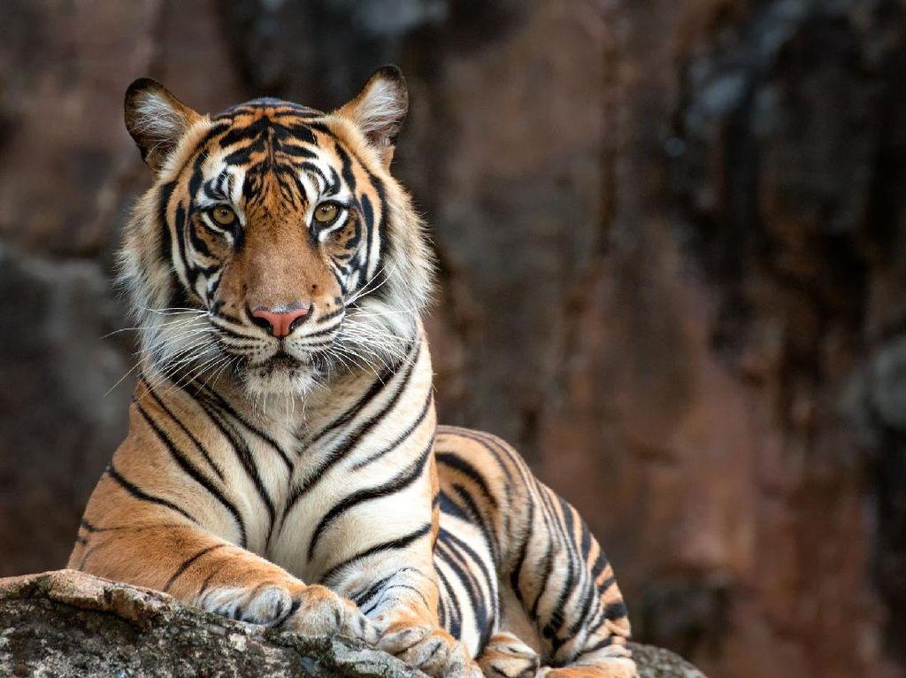 Memilukan, Penjaga Kandang Tewas Diterkam Harimau
