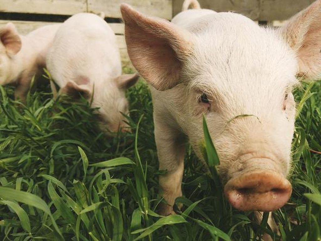 Muslim Terpaksa Makan Babi, Apakah Allah SWT akan Mengampuni?