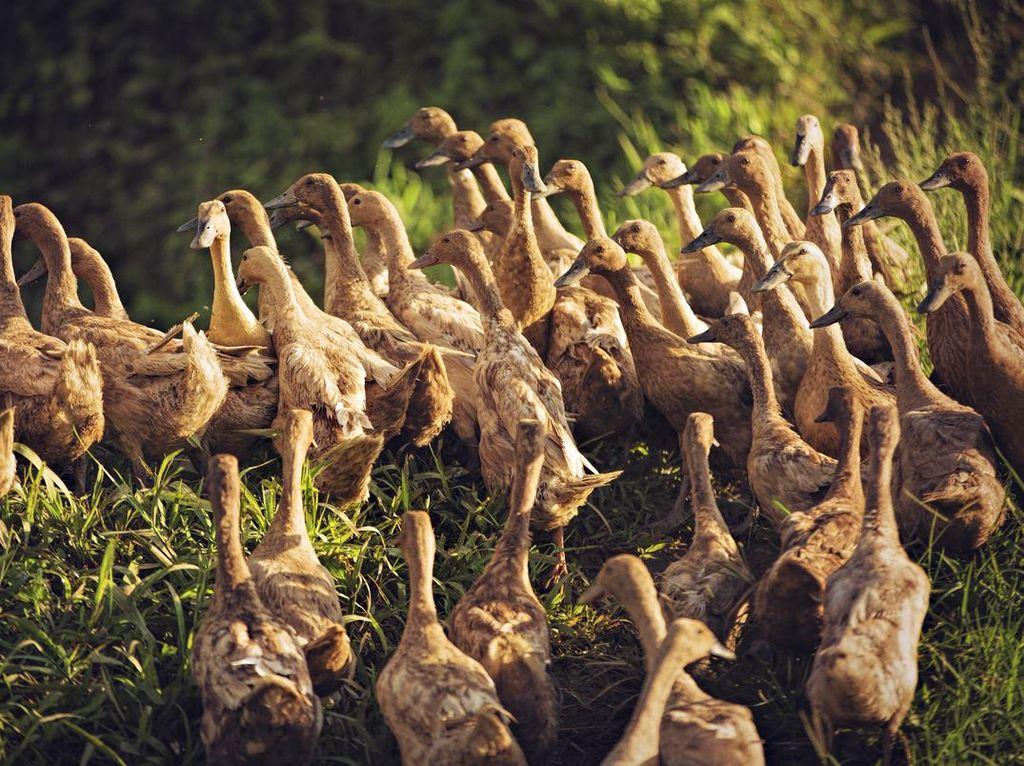Bebek Hibrida Paling Populer Karena Dagingnya Empuk dan Tebal