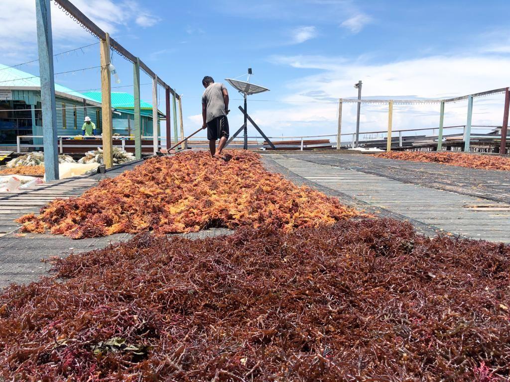 Produksi 3.000 Ton/Bulan, Petani Ingin Nunukan Ekspor Rumput Laut Sendiri