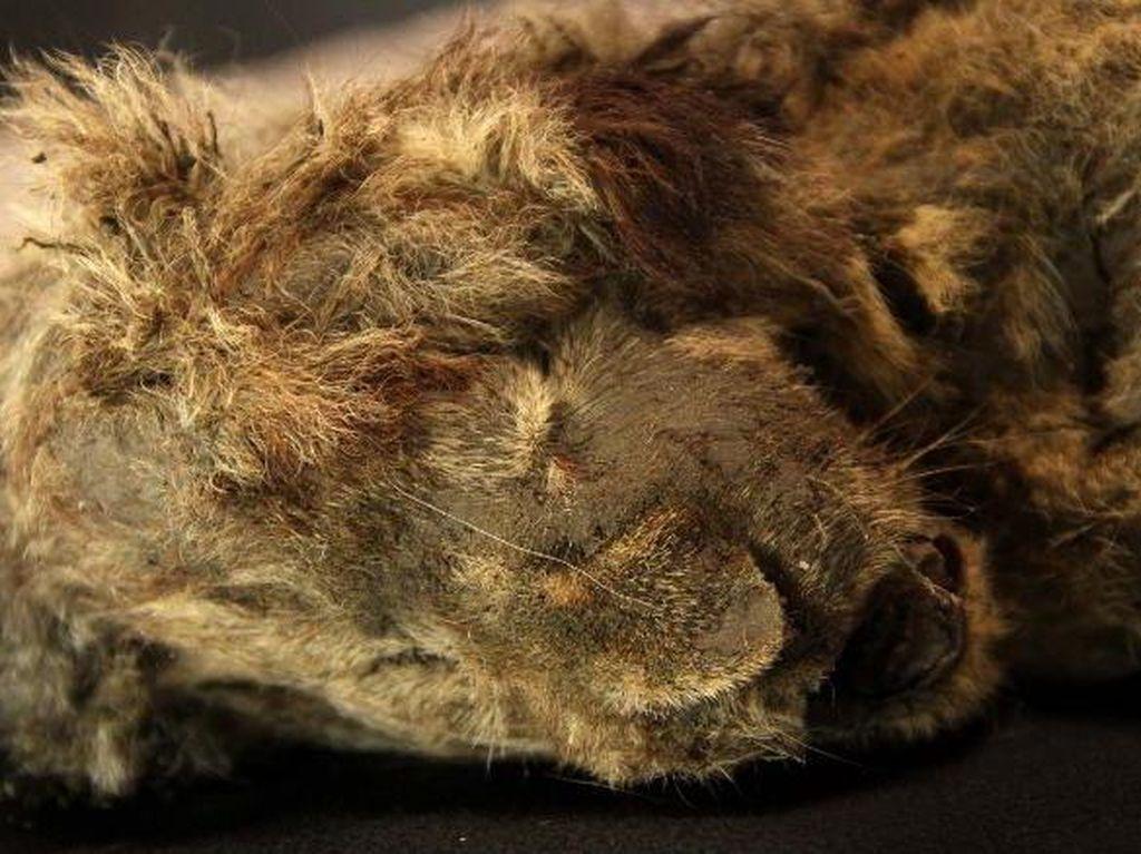 Mumi Singa Berumur 28 Ribu Tahun Ditemukan Utuh