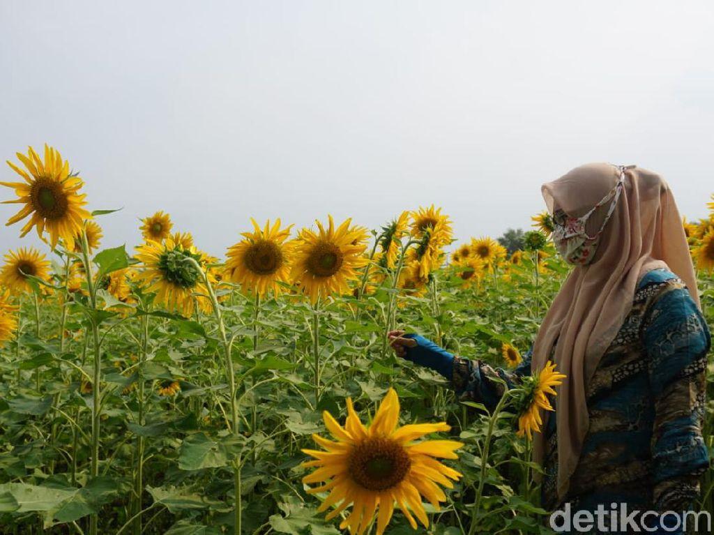 Viral Kebun Bunga Matahari Jadi Wisata Dadakan di Mojokerto