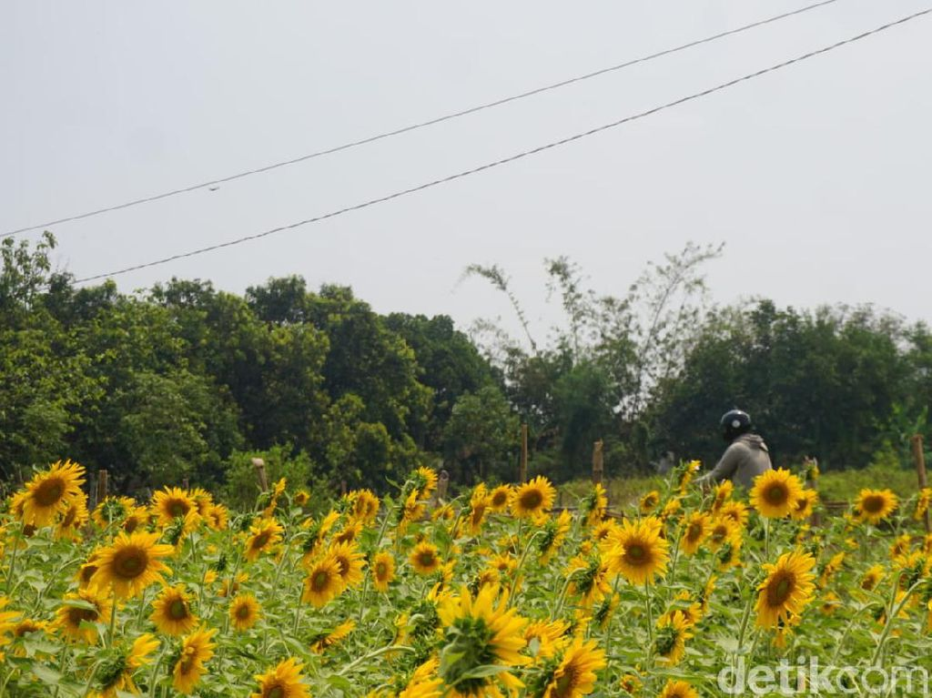 Ini Cerita Bagaimana Kebun Bunga Matahari yang Viral di Mojokerto Tercipta