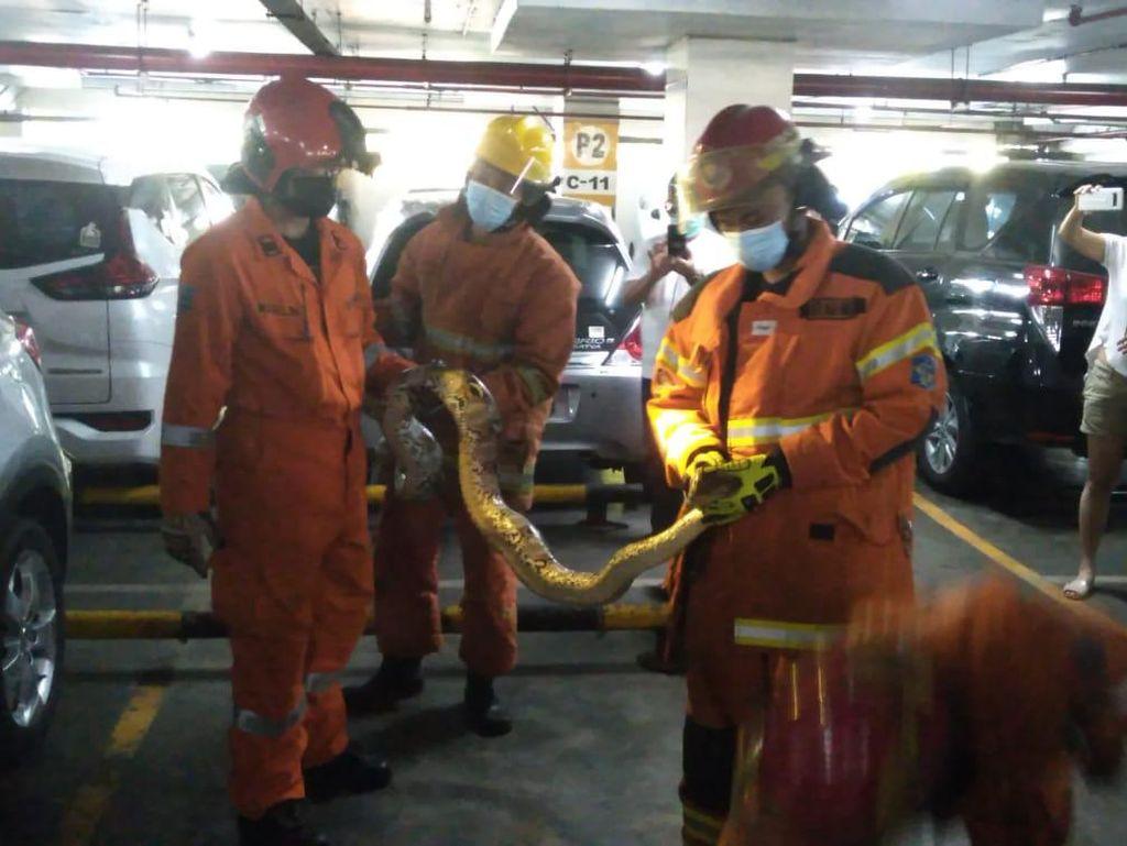 Ular Piton Ditemukan Ngumpet di Sepatbor Mobil di Parkiran Mal Surabaya