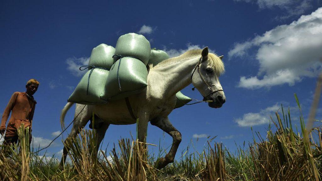 Kuda Jadi Andalan Petani Angkut Gabah di Sulsel