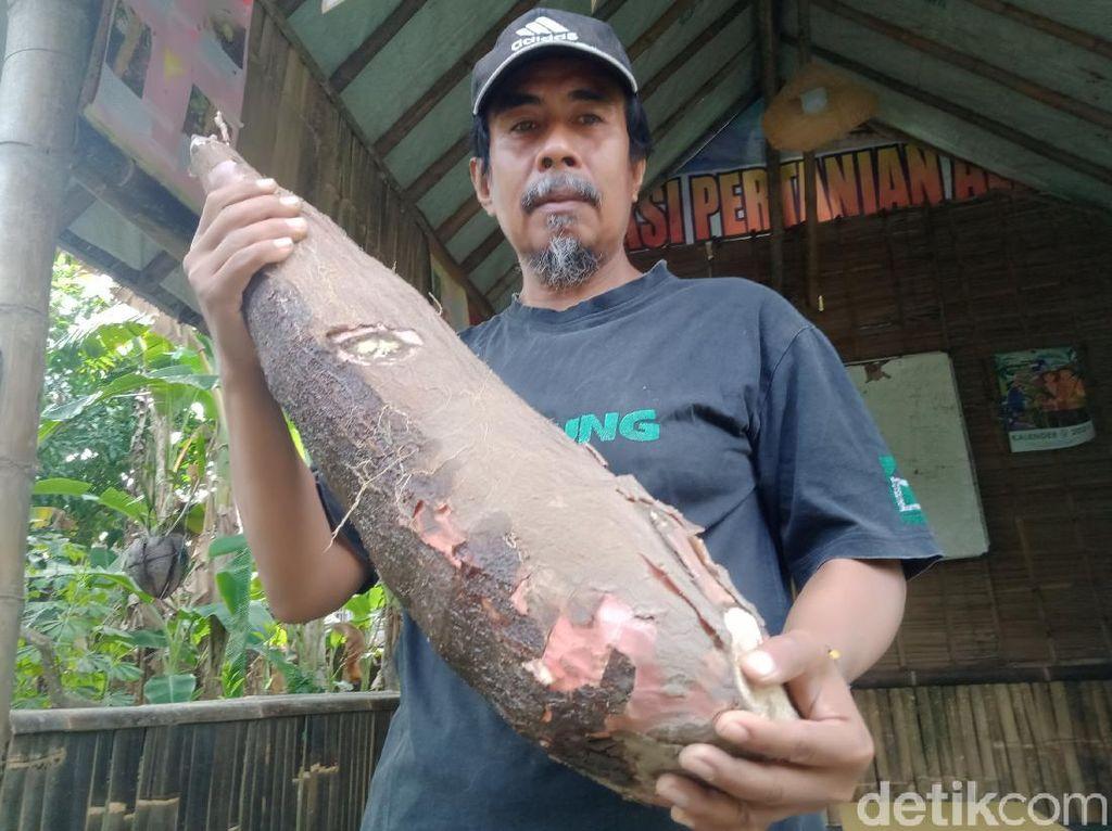 Gede Banget! Satu Umbi Singkong di Klaten Ini Beratnya 9 Kg