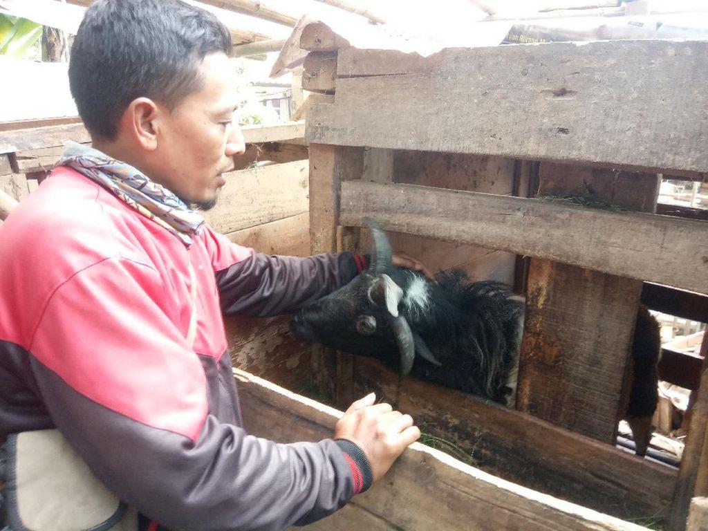 Unik! Domba Bintang Selatan di Cianjur Bertanduk Empat