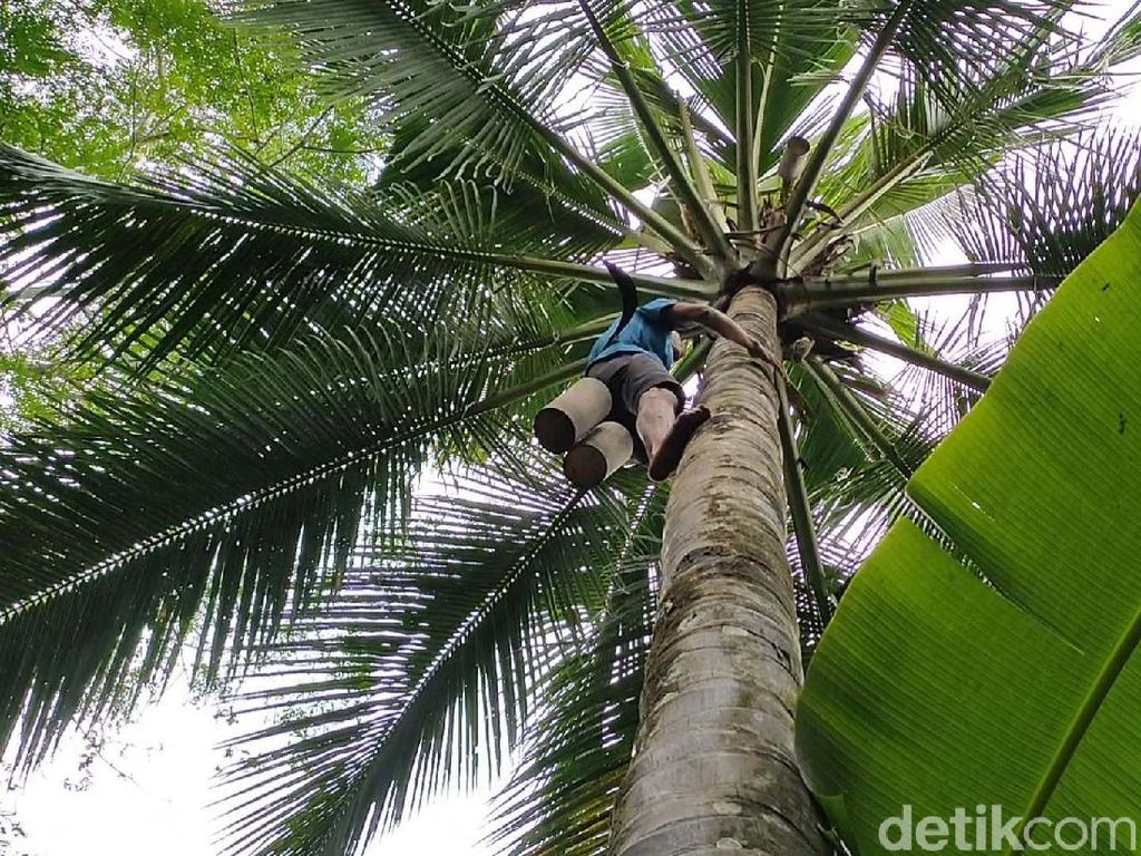 34 Manfaat Pohon Kelapa dari Buah hingga Akarnya