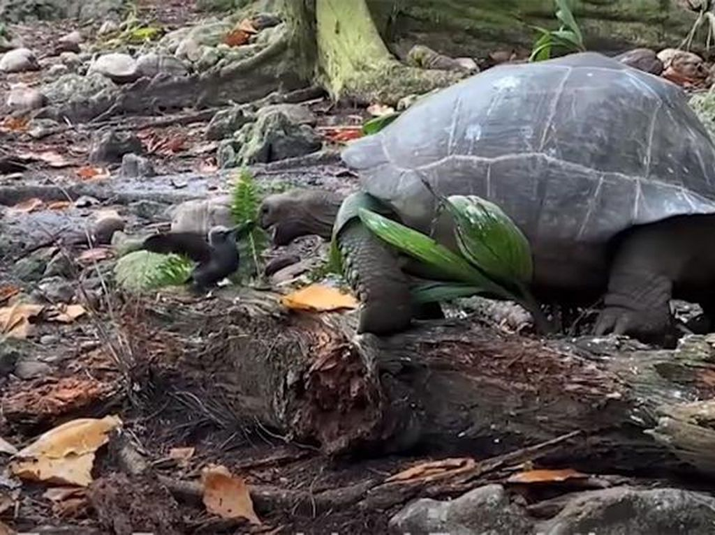Mengerikan, Ternyata Kura-kura Raksasa Ini Terkam Burung