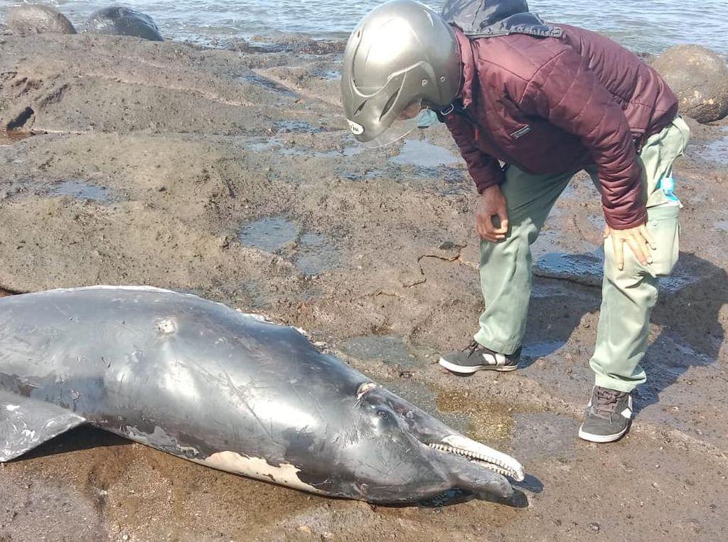 Bangkai Lumba-lumba dengan Luka Sayatan Ditemukan di Pantai Yeh Leh Bali