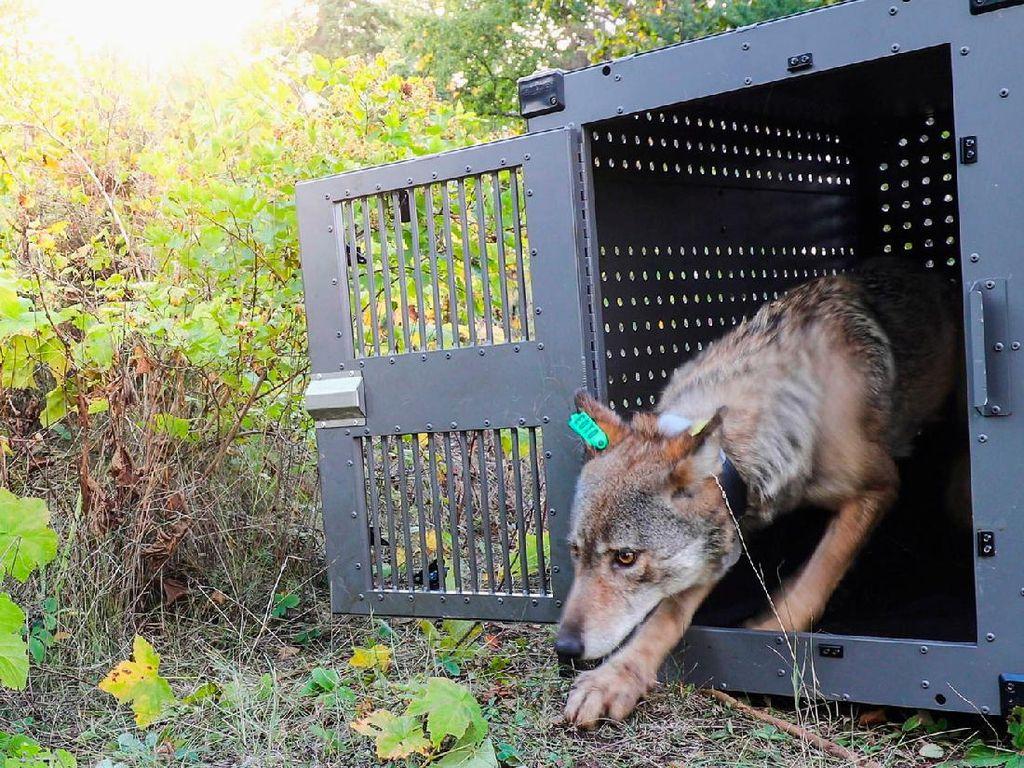 Sedih, 2 Serigala Ini Harus Dibunuh Gegara Ganggu Hewan Ternak