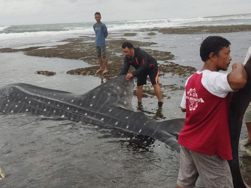 Lagi, Hiu Tutul Terdampar di Pantai Pangandaran