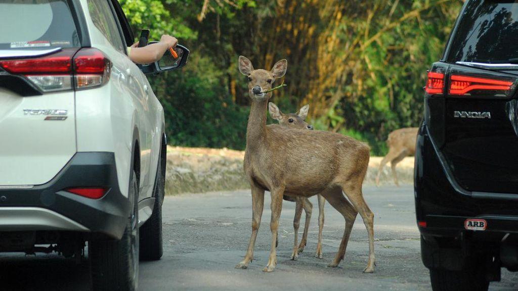 Bogor PPKM Level 3, Taman Safari Dibuka Secara Terbatas