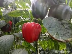 Petani di Pasuruan Berbagi Cerita soal Untungnya Menanam Paprika