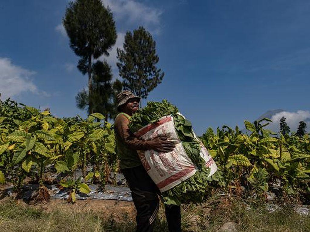 Asa Petani Tembakau di Tengah Kenaikan Cukai Rokok