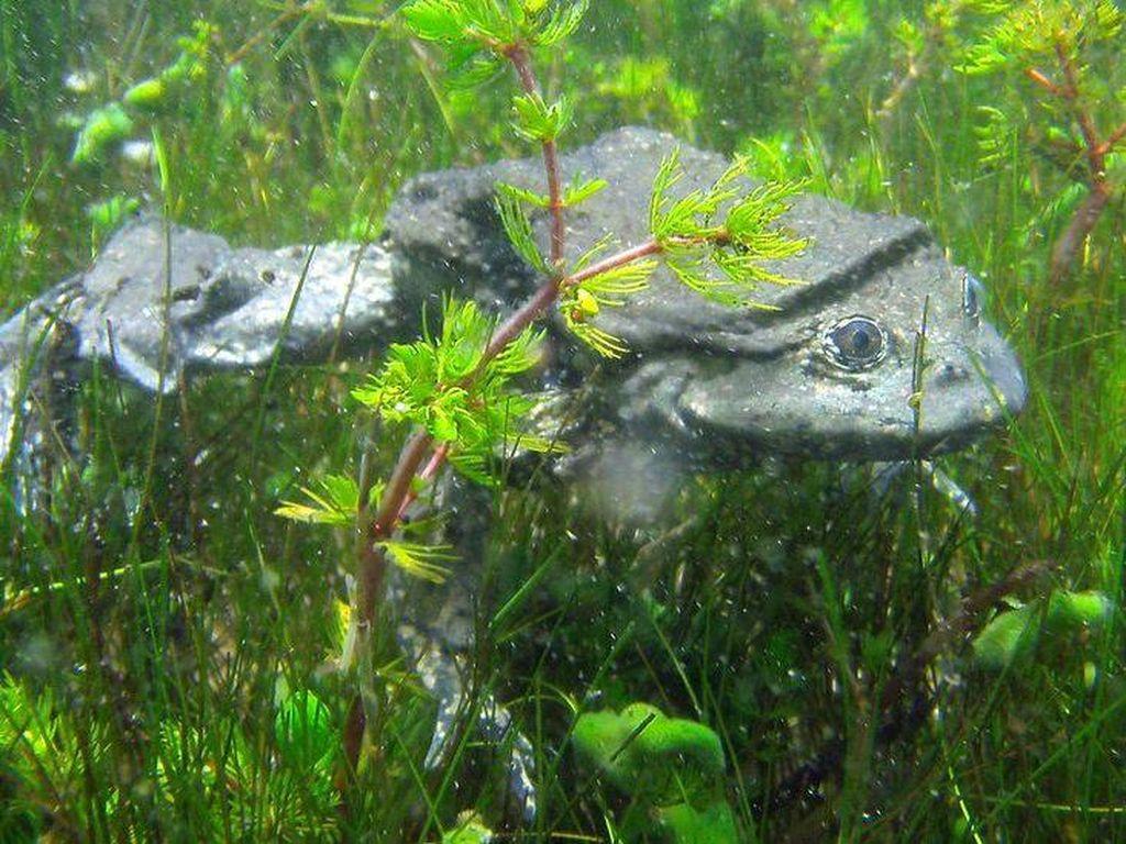 Ini Katak yang Mirip Kantong Buah Zakar, Habitatnya di Danau Tertinggi Dunia