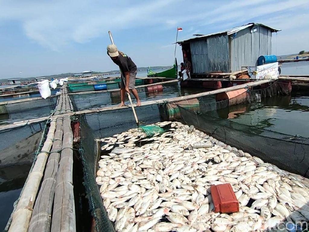 Puluhan Ton Ikan Budi Daya di Waduk Kedungombo Sragen Mati Mendadak