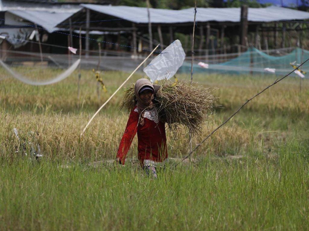 Dulu Tergantung Hujan, Kini Petani Andalkan PLTS buat Airi Sawah
